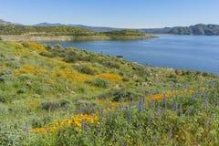 Veel wilde bloembloesem in Diamond Valley Lake Stock Afbeelding