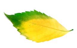 Veelkleurig blad van de klimplant van Virginia royalty-vrije stock foto's