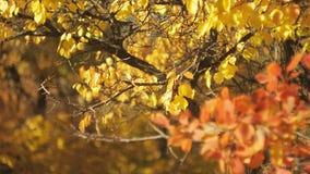 Veelkleurige bladeren in de herfstbos met bokeheffect Middelgroot schot Veelkleurige bokeh Kleurrijk gebladerte die in wind sling stock video