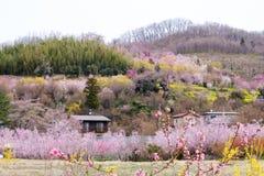 Veelkleurige bloeiende bomen die de helling, Hanamiyama-Park, Fukushima, Tohoku, Japan behandelen Stock Fotografie