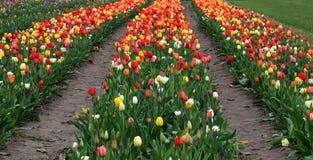 Veelkleurige tulipfield in bloei Stock Afbeeldingen
