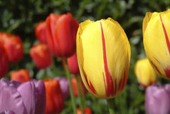 Veelkleurige tulpen Royalty-vrije Stock Afbeelding