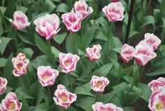 Veelkleurige tulpen Stock Afbeelding