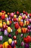 Veelkleurige tulpen in bloei Royalty-vrije Stock Afbeelding