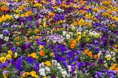 Veelkleurige viooltjebloemen of pansies als achtergrond Stock Afbeelding