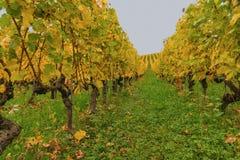 Veelkleurige wijngaard bij de herfst 12 Royalty-vrije Stock Afbeeldingen