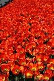 Veelvoudig rood tulpenbed in de Lente royalty-vrije stock fotografie