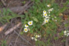Veelvoudige bloemen met geel centrum, het uitspreiden zich stammen Stock Foto's