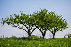 Veelvoudige bomen in wijngaard op een heuvel op een duidelijke dag Royalty-vrije Stock Afbeelding