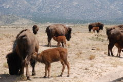 Veelvoudige Buffelskalveren die van Koeien voeden Royalty-vrije Stock Afbeeldingen