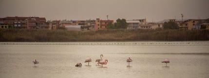 Veelvoudige Flamingo's in een meer dichtbij het centrum van een Stad stock foto
