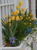 Veelvoudige gele tulpen in witte windowbox Stock Afbeeldingen
