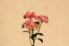 Veelvoudige heldere aan donkere roze rozen met onlangs open verse bloemblaadjes en oude aanvang om van het groeien op stammen met stock afbeeldingen