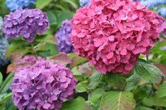 Veelvoudige Hydrangea hortensia royalty-vrije stock fotografie