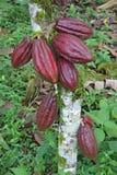 Veelvoudige peulen van cacao Arriba Royalty-vrije Stock Afbeelding