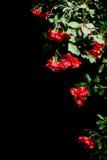 Veelvoudige rode rozen op zwarte achtergrond Royalty-vrije Stock Foto's