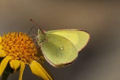 Veengeeltje, Moorland si è appannato il giallo, palaeno di Colias fotografia stock