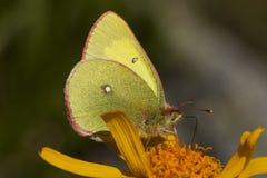 Veengeeltje, Moorland si è appannato il giallo, palaeno di Colias immagini stock libere da diritti