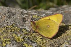 Veengeeltje, Moorland si è appannato il giallo, palaeno di Colias immagini stock