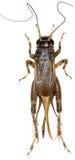 Veenmol (insect) op witte Achtergrond Stock Afbeelding