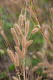 Veerpennisetum, opdrachtgras Royalty-vrije Stock Afbeeldingen