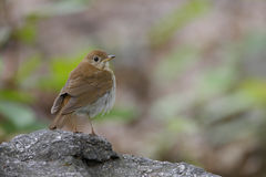 Veery (Catharus fuscescens fulginosa). Spring migrant sitting on a rock Stock Photos