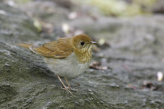 Veery (Catharus fuscescens fulginosa) Stock Photography