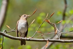 Veery Royalty Free Stock Images