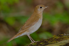 Veery Stock Photography