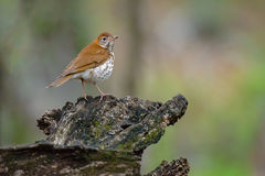 Veery Stock Images
