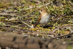 Veery. Standing on the forest floor looking for a meal. Ashbridges Bay park, Toronto, Ontario, Canada Royalty Free Stock Image