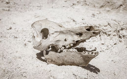 Veeschedel in de woestijn Stock Fotografie