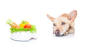 Vegan dog. Chihuahua dog with  healthy  vegan or vegetarian  food bowl, isolated on white background Royalty Free Stock Photography