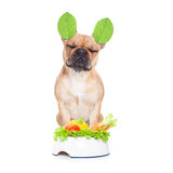 Vegan dog. French bulldog  dog with a vegan vegetarian healthy  food bowl, isolated on white background Royalty Free Stock Photos