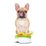 Vegan dog. French bulldog  dog with a vegan vegetarian healthy  food bowl, isolated on white background Stock Images