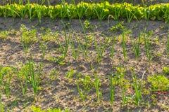 Vegeatables que cresce no jardim Fotos de Stock