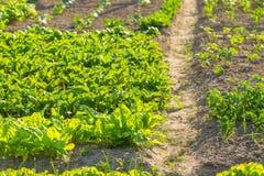 Vegeatables que cresce no jardim Imagens de Stock