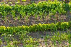 Vegeatables que cresce no jardim Fotos de Stock Royalty Free
