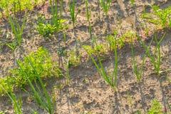 Vegeatables que cresce no jardim Foto de Stock Royalty Free