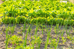 Vegeatables que cresce no jardim Fotografia de Stock Royalty Free