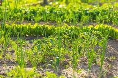 Vegeatables que cresce no jardim Fotografia de Stock