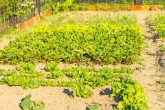 Vegeatables que cresce no jardim Imagem de Stock
