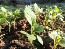 Veget cresce Foto de Stock