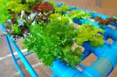 Veget hydroponique Photo libre de droits