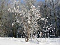 Vegetação, arbustos e árvores do inverno cobertos com a geada e a neve, pena do gelo foto de stock