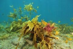 Vegetação colorida do Oceano Pacífico temperado fotos de stock