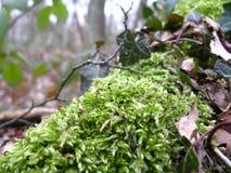 vegetação da árvore de floresta Imagens de Stock Royalty Free