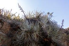 Vegeta??o da montanha com alo?s e cacto, flora do parque de Campana National do La no Chile central, ?m?rica do Sul imagem de stock royalty free