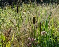 Vegetação de água doce do banco com precipitação de florescência e Bullrush imagem de stock royalty free