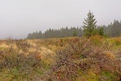 Vegetação de Heath e floresta do abeto vermelho na névoa em montanhas de Ticknock imagem de stock